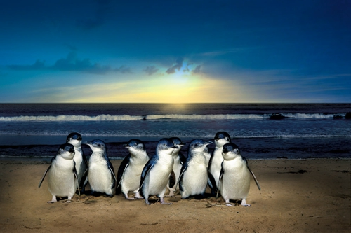 澳洲墨爾本菲利普島一日遊~必看可愛小企鵝歸巢奇觀