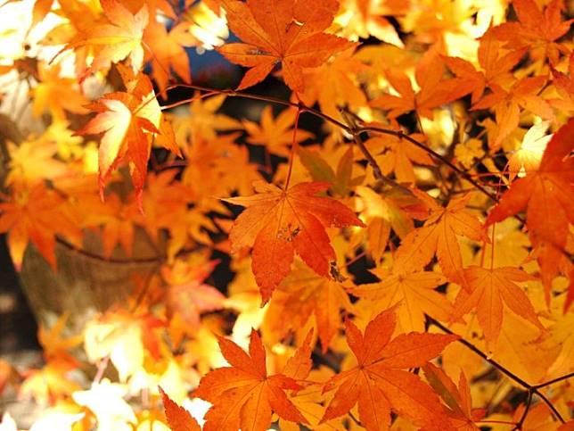 秋天旅遊必拍景點:芒花、楓葉、山毛櫸!台灣秋季景點推薦