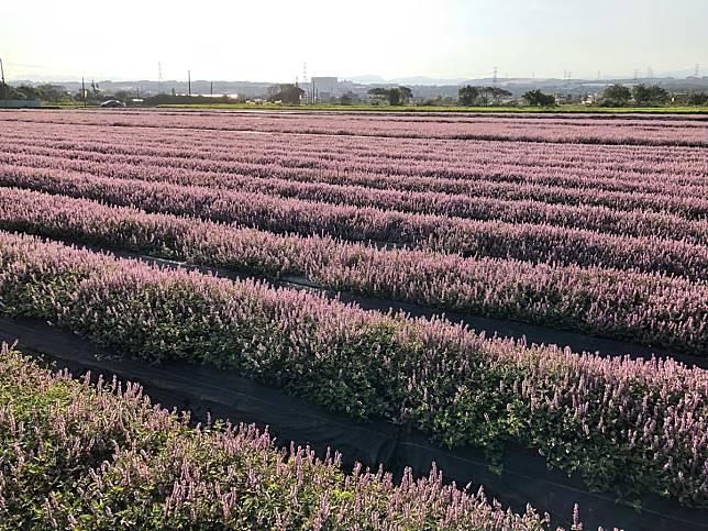 粉紫控心臟爆擊!5公頃仙草花開成「台版北海道薰衣草海」,秒登最甜打卡點